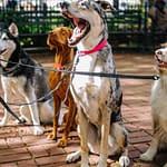 Dog sitter Roma
